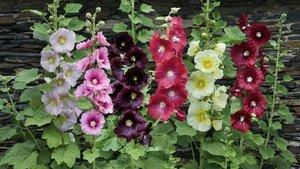 Hatmi çiçeği Yararları